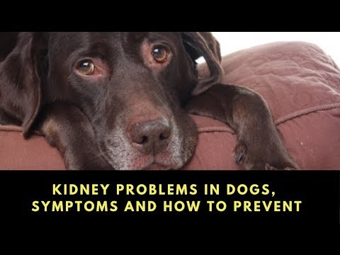 Kidney Problems In Dogs, Symptoms And How To Prevent