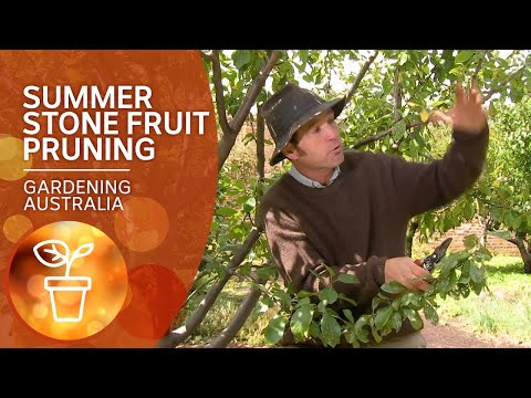 How to prune stone fruit trees in summer