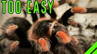 10 лучших домашних птицеедов-птицеедов, не требующих особого ухода