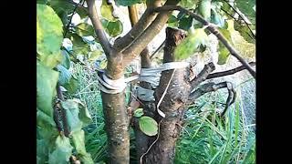 Прививаем яблони и сливы- 2.  Спустя 4 месяца.