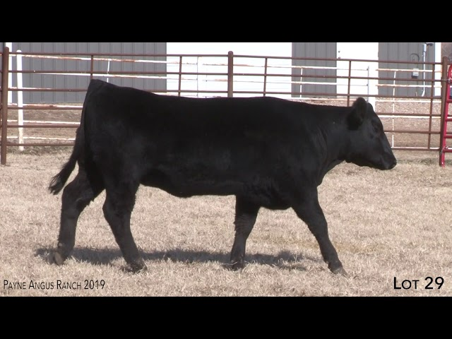 Payne Angus Ranch Lot 29