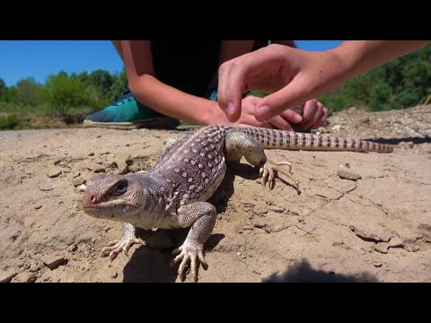4K The Lizard That's Older Than The Kids Catching It: Travel, Nature, Reptiles & Amphibians.