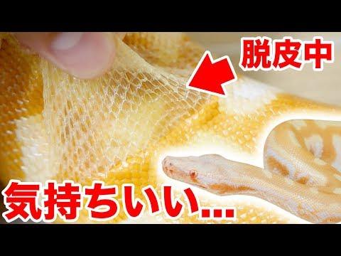 蛇の脱皮をお手伝い、皮を剥くのが気持ちよすぎた
