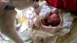 Хаски знакомится с новорожденным ребенком // Husky acquainted with newborn baby