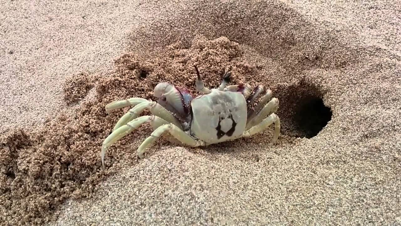Ghost Crab digging a hole in the sand. - YouTube