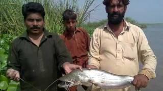 fishing in pakistan by rizwan 4kg malle  in head sulmanke bahawalnagar 03078630323.mp4