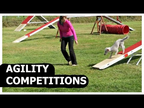 BONUS VIDEO AGILITY COMPETITIONS WITH BEDLINGTON TERRIER