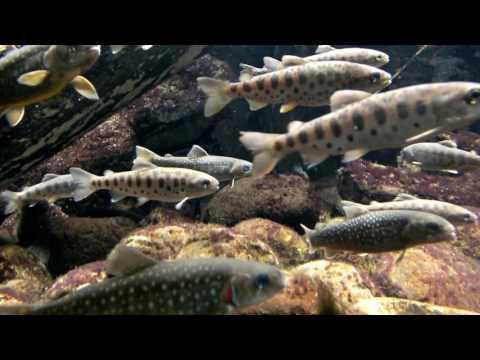 Japanese freshwater fish.Masu salmon and White-spotted char.日本の淡水魚。ヤマメとニッコウイワナ。