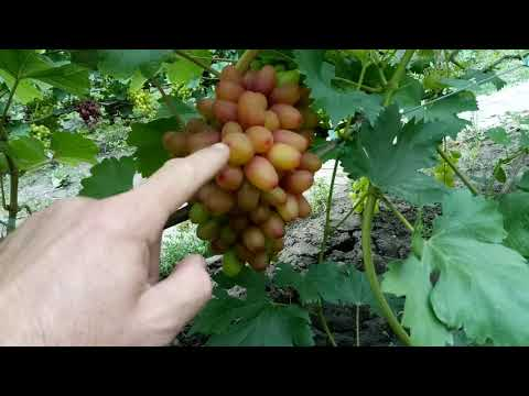 Обзор виноградника Полишко часть первая, более 150 сортов и гф