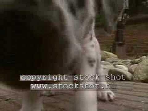 dalmatian-dog-&-puppies