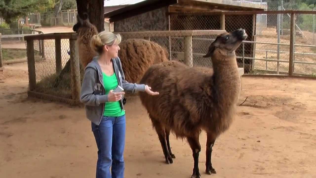 Download Llama spitting on me