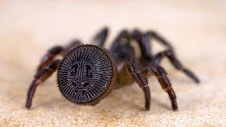 Wrap Around Spiders Are Real And They're Nearly Impossible To Spot Before It's Too Late
