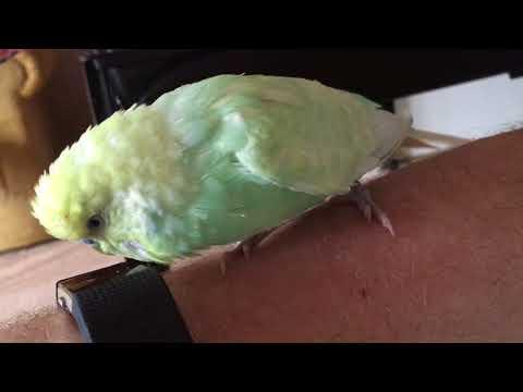 Talking clock - parrot