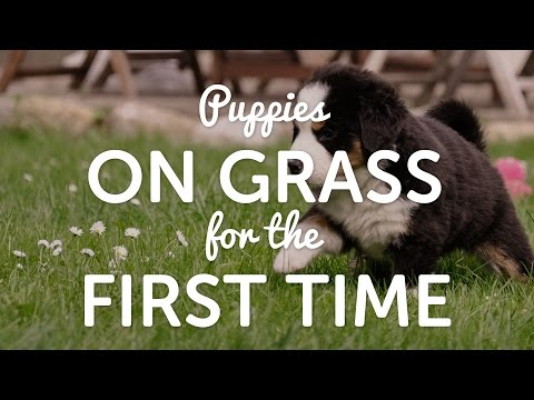On Grass for the First Time - Bernese Mountain Dog Puppies