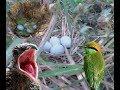 10 Loài Chim Dễ Tìm Thấy Nhất ở MIỀN TÂY CHIM SÁO,cưởng,tu hú,bìm bịp,trảu.TỔ CHIM QUÝ HIẾM