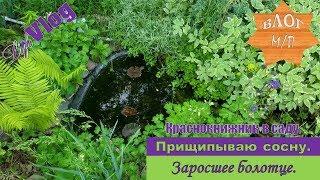 Краснокнижник в саду. Прищипывание сосны. Заросшее болотце.