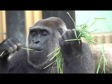 Aug 2018 Gorillas at Kyoto City Zoo