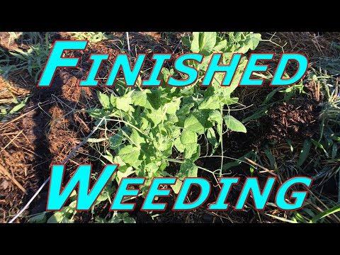 Weeding Done #146 Heirloom Organic Vegetable Garden