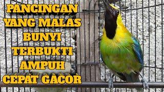 Download SUARA BURUNG CUCAK RANTING GACOR PENUH EMOSI ( HUTAN SUMATERA )