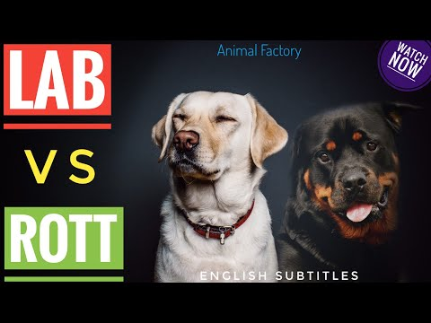 Labrador vs Rottweiler comparison   Malayalam   Animal Factory