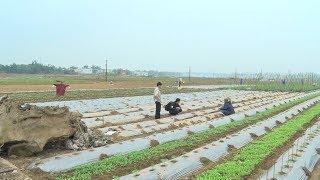 Người dân vùng rốn lũ khẩn trương chuẩn bị rau sạch, cung ứng cho thị trường trong dịp Tết
