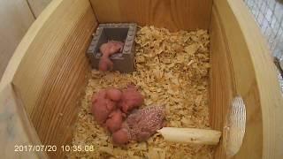 Осмотр дуплянки, птенцы волнистого попугая