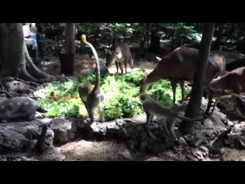 Feeding Time @ Barbados Wildlife Reserve #1