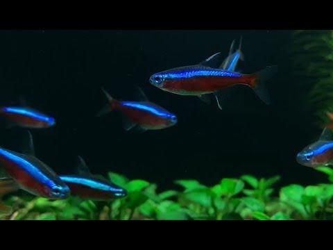 cách nuôi cá neon sinh sản
