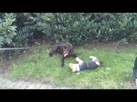Meet a Beagle  Lennox-Luis vs. Connor cute puppy dogs playing
