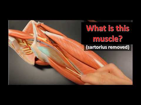 Leg Muscles Anatomical Models Practical Exam Practice