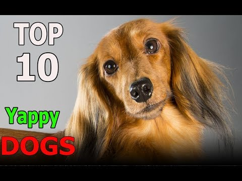 Top 10 Yappy Dog Breeds | Top 10 animals