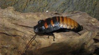 Мадагаскарские тараканы. Обустройство жилья для мадагаскарских тараканов.