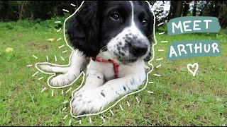 Our New Springer Spaniel Puppy | In Memory of Walt