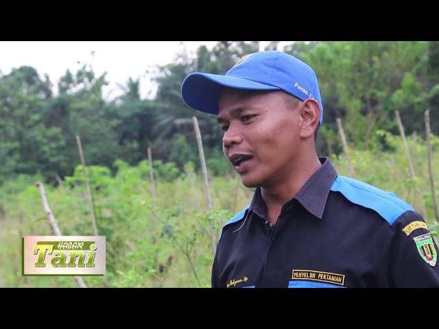 Habar Tani Episode 2 -  Penanganan Penyakit Pada Cabe Segmen 2 #TV Tabalong