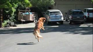 Leaping Dog Amber