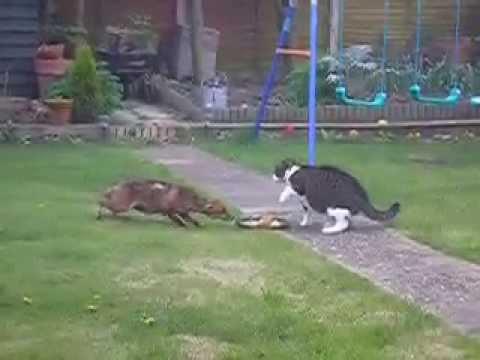 Brave cat against fox