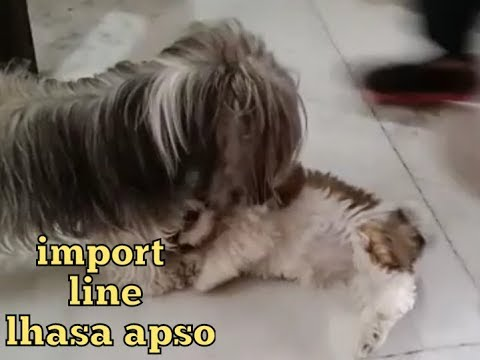 import // line // lhasa apso pom tv (dog video kolkata)india