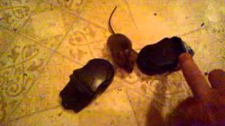 laboratóriumi egerek helmintái