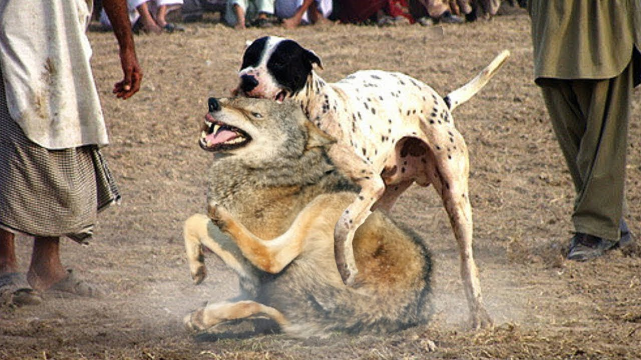 10 Dogs that can Fight Wolves