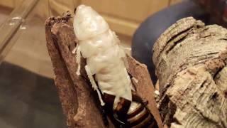 Как линяет мадагаскарский таракан (Gromphadorhina portentosa)