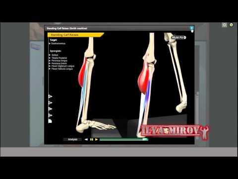 Икроножная и камбаловидная мышцы  Анатомия  Упражнения  Растягивание