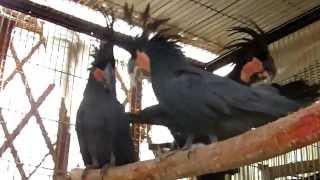Kicau Mania - Jenis Burung KAKATUA Hitam Kakatua RAJA