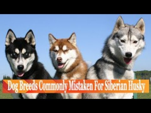 Dog Breeds Commonly Mistaken For Siberian Husky
