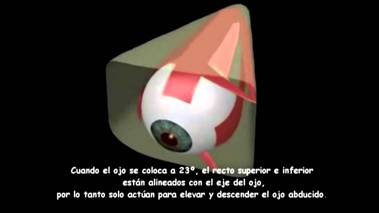Moderno Músculos Oculares Anatomía Imagen - Imágenes de Anatomía ...