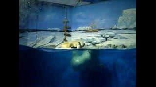 Огромный Белый медведь плавающий в воде. Huge polar bear swimming in the water.