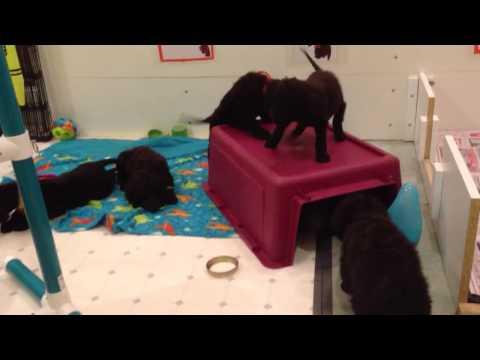 Irish Water Spaniel puppies