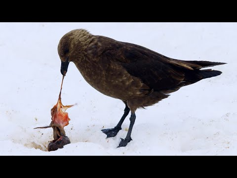 Penguin Chick Eaten By Skua | Penguin Post Office | BBC Earth