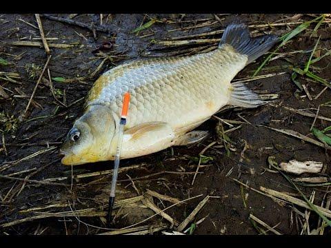 Как выглядит рыба карась