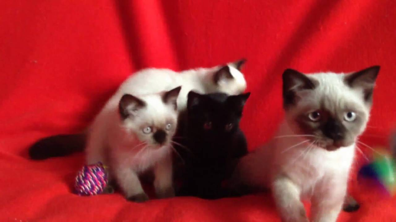 Купить шотландского котенка редкого окраса? У нас есть такие .