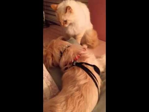 WARNING:  Hard To Watch.  My Puppy Being Slapped By My 14 Year Old Loving Cat.